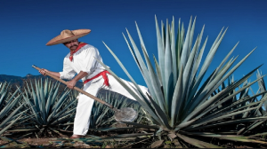 Tequila Jimador working harvesting agave